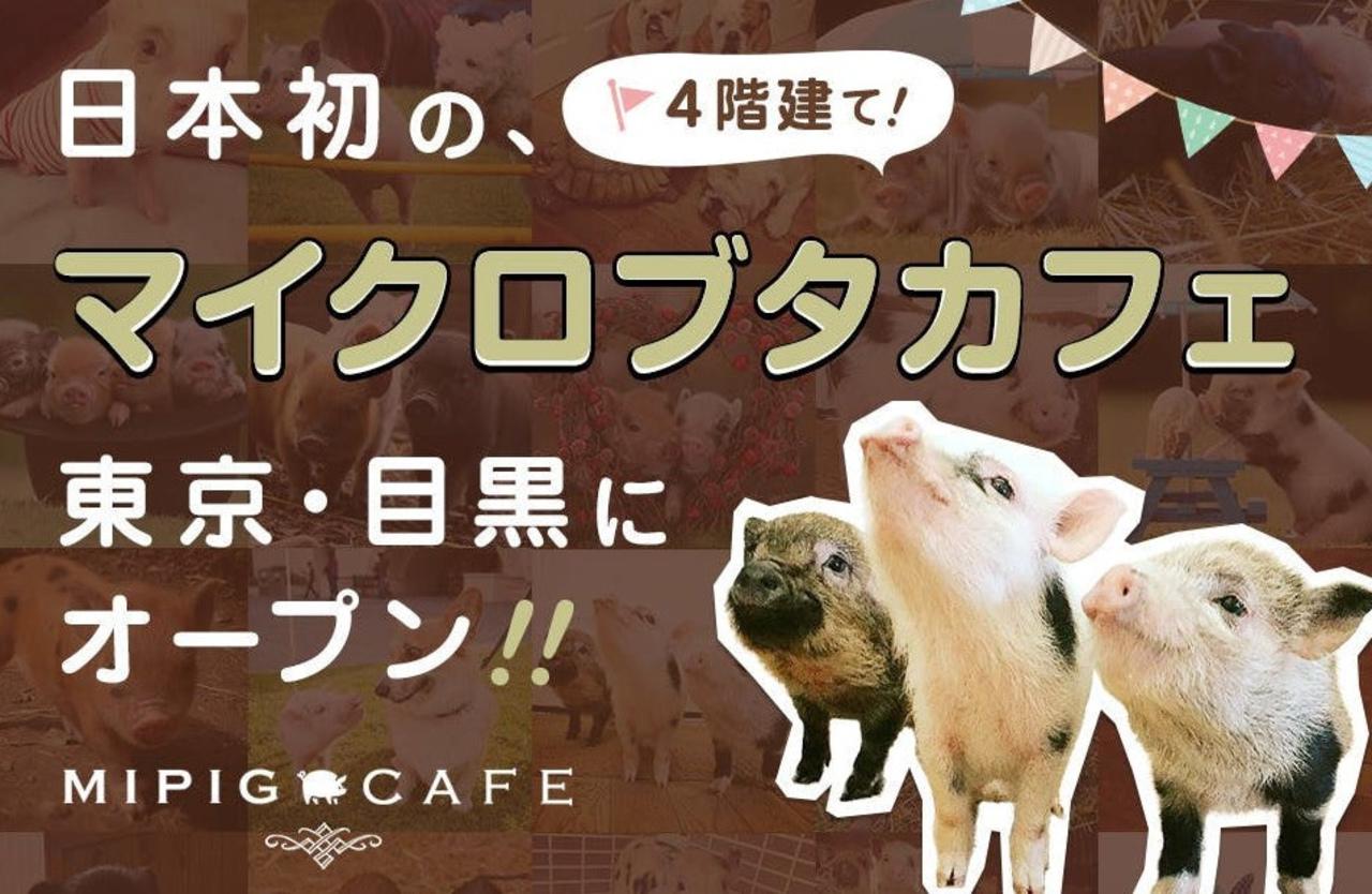 東京の目黒4丁目にマイクロブタとふれあえる「マイピッグカフェ」3月1日グランドオープン!