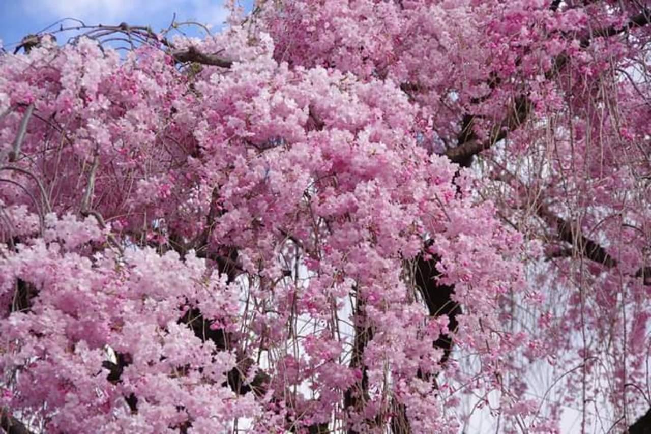 枝下桜の名所成願寺