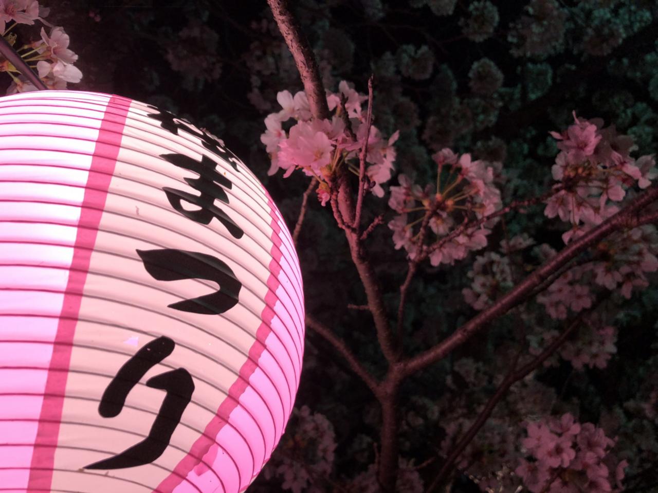 桜の季節、、、。