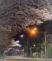 夜桜ドライブ