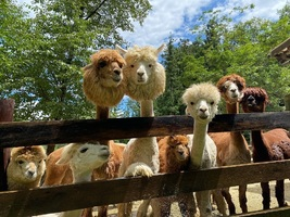 😢福島県郡山市三穂田町の「アルパカ牧場」が5/31に閉園されるようです。