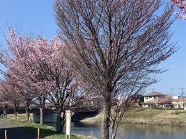 【青森県八戸市】八戸館鼻公園でソメイヨシノが開花したそうです!