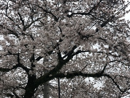 近鉄名張駅前の桜が咲いていました。。
