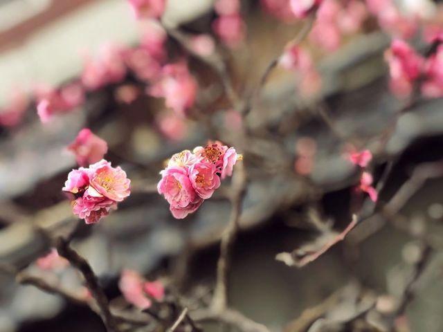 "<p>こんにちは、奈良県香芝市のココチキッチン奈良狐井です。<br /><br />本日の1枚の写真は、以前にも投稿した梅の花です。<br /><br />以前はまだ蕾が多かったのですが1週間ほどでここまで綺麗に咲きました✨<br /><br />本日3/12(木)は定休日になります。<br /><br />明日も皆様のご来店を心よりお待ちしています。<br /><br /><br /><strong>ココチキッチン奈良狐井</strong> 奈良県香芝市狐井613 ・・・・・・・<br />open:11:00-14:30 17:30-21:30 close:木曜.第三水曜日<br /><strong>tel:0745-44-8275</strong>※<strong>完全予約制<br /></strong>近鉄五位堂駅より徒歩10分 敷地内に大きな駐車場(20台以上)<br />※ランチは11時~と13時~の二部制営業になります。<br />※ディナーは2営業日前までにご予約願います。<br /><br />https://www.instagram.com/cocochikitchen/</p> <div class=""news_area is_type02""></div> <div class=""news_area is_type02""> <div class=""thumnail""><a href=""https://www.instagram.com/cocochikitchen/""> <div class=""image""><img src=""../../sv_image/w300h300/Y6/Xt/Y6XtltGBAhCNwfso.jpg"" /></div> <div class=""text""> <h3 class=""sitetitle"">@cocochikitchen • Instagram photos and videos</h3> <p class=""description"">118 Followers, 88 Following, 12 Posts - See Instagram photos and videos from @cocochikitchen</p> </div> </a></div> </div> ()"
