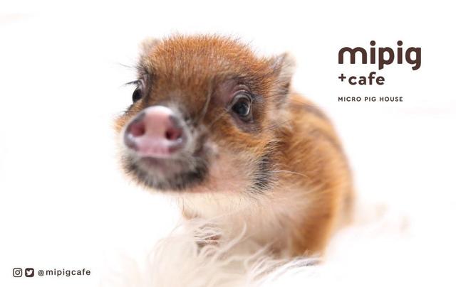 "<p>マイクロブタカフェ「mipig cafe 原宿」11月8日グランドオープン!</p> <p>マイクロブタさんと絵本のおうちというコンセプトを掲げ</p> <p>""3匹の子ぶた""の絵本のような世界観の中で、</p> <p>マイクロブタさんとのひとときを楽しめるカフェ。。</p> <p>http://bit.ly/36LLZNW</p><div class=""news_area is_type01""><div class=""thumnail""><a href=""http://bit.ly/36LLZNW""><div class=""image""><img src=""https://pbs.twimg.com/media/EIfHUUgU8AEx3fN.jpg:large""></div><div class=""text""><h3 class=""sitetitle"">mipigcafe on Twitter</h3><p class=""description"">""本日原宿店にてデビュー????????ドキドキ…!原宿店プレオープンにお越しの皆さま、お待ちしております???? ・ #mipig #mipigcafe #mipigcafeharajuku #micropig #マイクロブタ #マイクロブタカフェ #tokyo #meguro #harajuku #animalsinfluence #クララ""</p></div></a></div></div> ()"