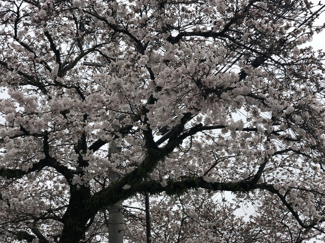 """<p>今朝は寒いですが、着実に春は近づいていました。</p> <p>桜を見て嬉しかったです^ - ^</p><div class=""""thumnail post_thumb""""><a href=""""""""><h3 class=""""sitetitle""""></h3><p class=""""description""""></p></a></div> ()"""