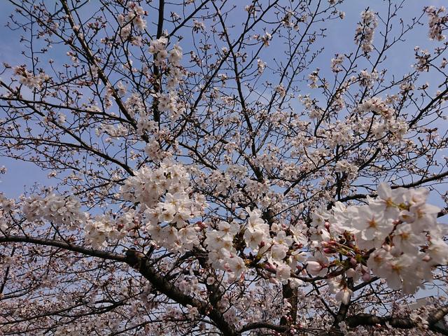 <p>大阪では20日に開花発表がありましたね。</p> <p>満開は、29日頃を予想しているようです。</p> <p>本日法務局帰りに</p> <p>大阪市中央公会堂と桜を撮ってみました。</p> <p>hara<br /><br /></p> ()